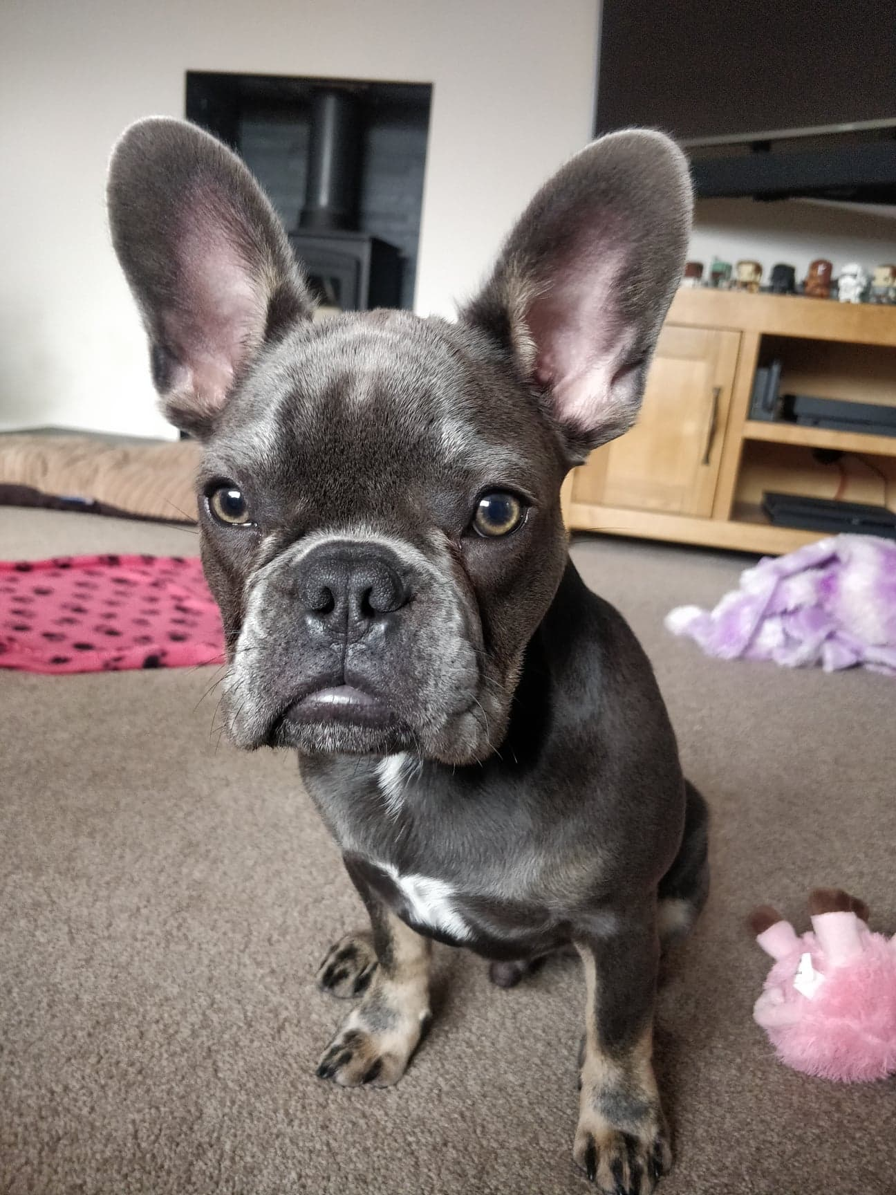 French Bulldog puppy doing dog training and learning to sit on command