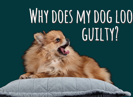 Does your dog actually feel guilty when he's misbehaved? Learn to understand what he's thinking