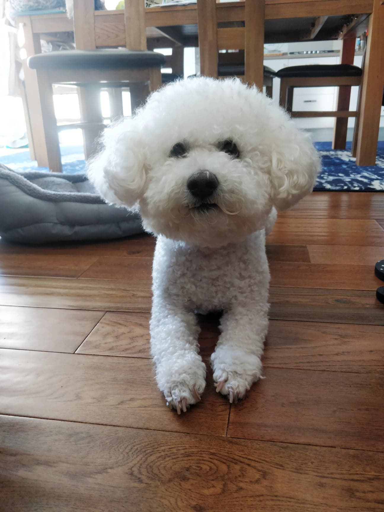 Bichon Frise doing dog training and learning to lie down on command