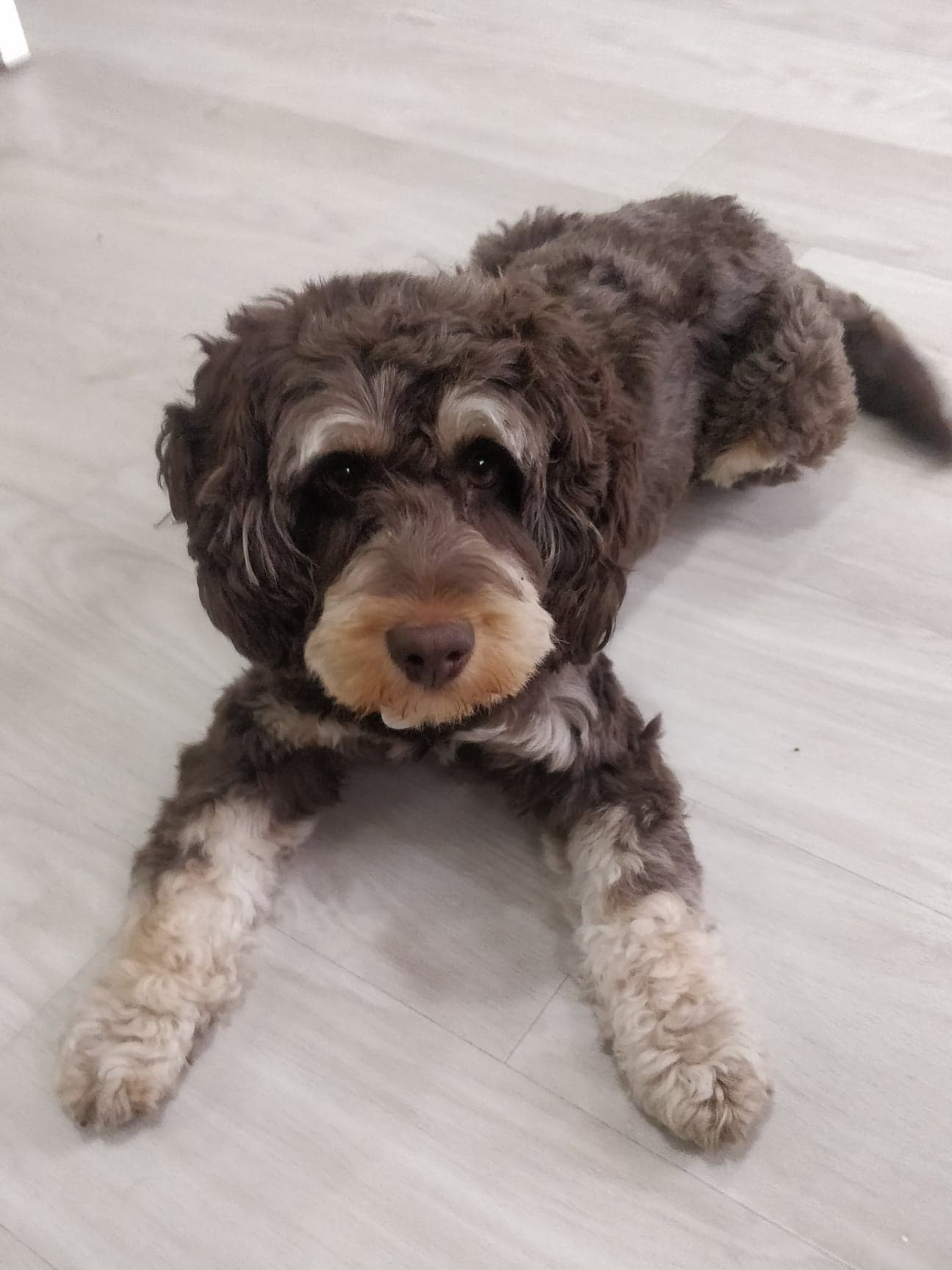 Cockapoo doing dog training and learning to lie down on command