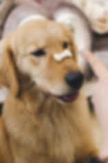 adult%20golden%20retriever%20with%20cookie%20bone%20on%20nose_edited.jpg