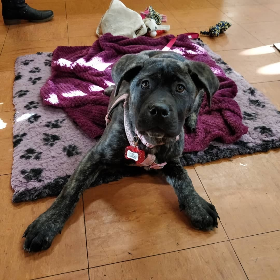 Cane Corso Puppy doing dog training and learning to lie down on command