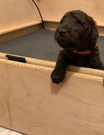 Cute puppy - whelping box.jpg