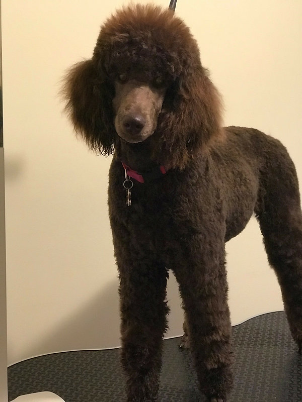 Bonnie at 7 months after her first big girl grooming.jpg