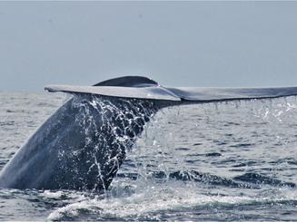 blue whale_adi daud.PNG