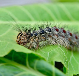 Gypsy%2520moth%2520caterpillar%252C%2520crawling%2520on%2520young%2520leaves_edited_edited.jpg