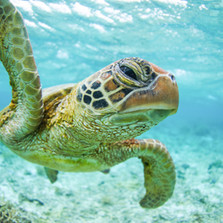 0E3A7368-1. Lagoon green turtle 32 copy.