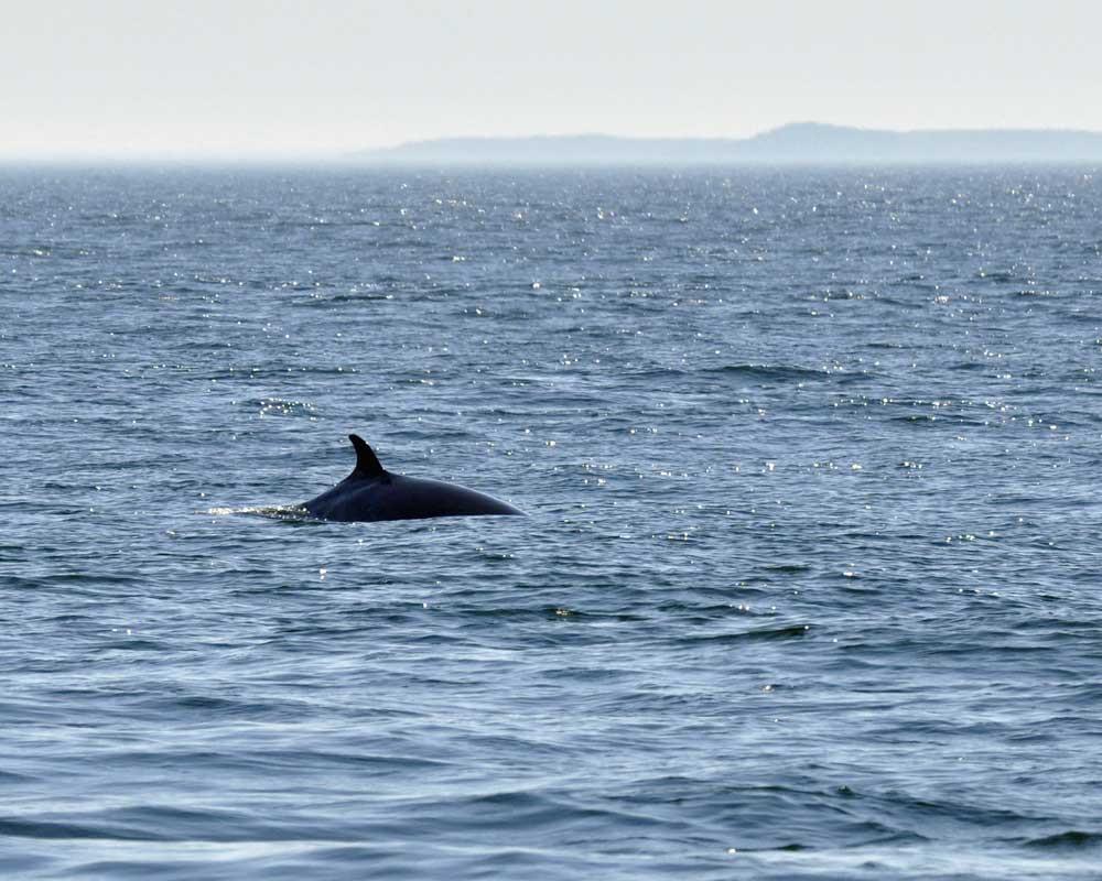 minke whale, whale watching, maine windjammer, windjammer cruises, schooner Mary Day