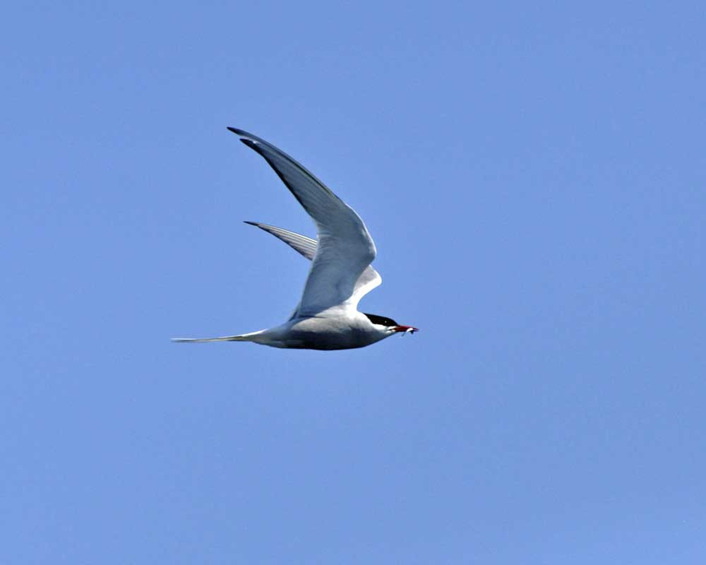 schooner Mary Day, common tern with fish, maine coast seabirds, maine windjammer, windjammer cruises