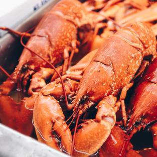 1.5 lb. Live Maine Lobster