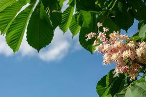 branche-chataignier-fleur-fond-ciel-bleu