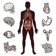 ensemble-anatomie-humaine_98292-1557.jpg