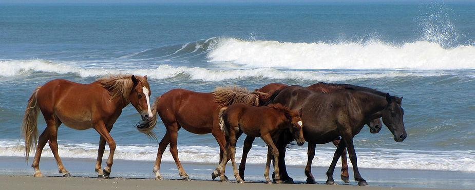 wild horses Carolina Wild Horse Fund.jpg