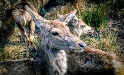 Torridon Deer