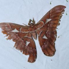 Rothschildia orizaba