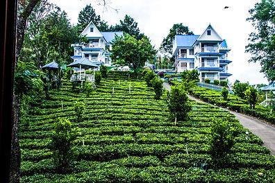 Tea plantation in Western Ghats