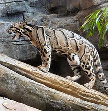 meghalaya-clouded-leopard-neofelis-nebul