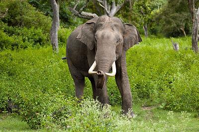 Western Ghats 6 Elephas_maximus_(Bandip