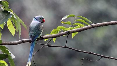 Western Ghats 10 Malabar-Parakeet.jpg