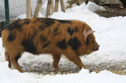 2014-02-08 2014-02-08 kunekune piglets 152