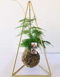 Asparagus Setaceus com Pirâmide