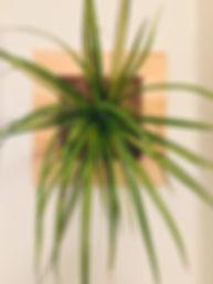 Clorófito- FIU