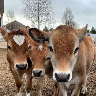 adopt-cows_1000x1000.jpg