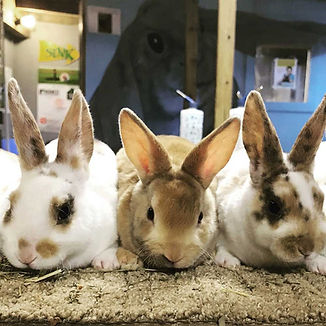 adopt-rabbits_1000x1000.jpg