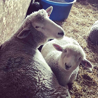 adopt-sheep_1000x1000.jpg