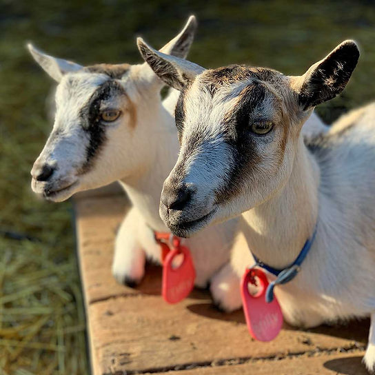 Goats-Millie-and-Tillie_1000x1000.jpg