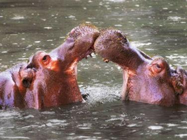 kamakwie-hippo-300x225.jpg