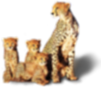 cheetah-transparent.png