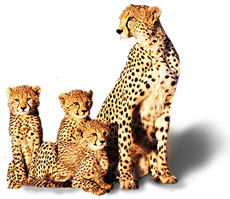 cheetah-transparent.png