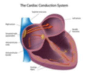 cardiac_conduction_system.jpg