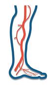 artery (arteries) texas