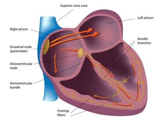 cardiac_conduction_system.jpg