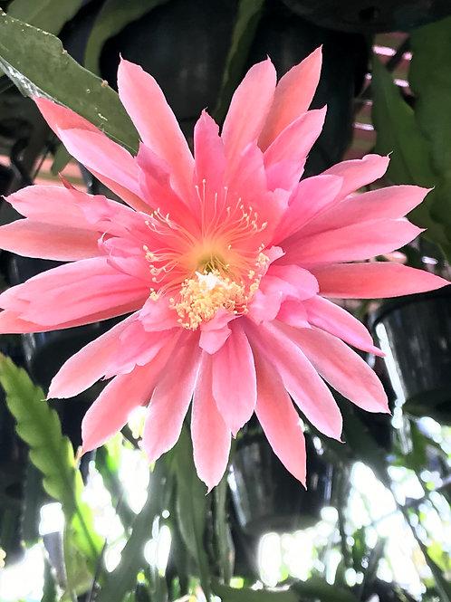 """Epiphyllum """" KIWI CANDY FLOSS """" Variety"""