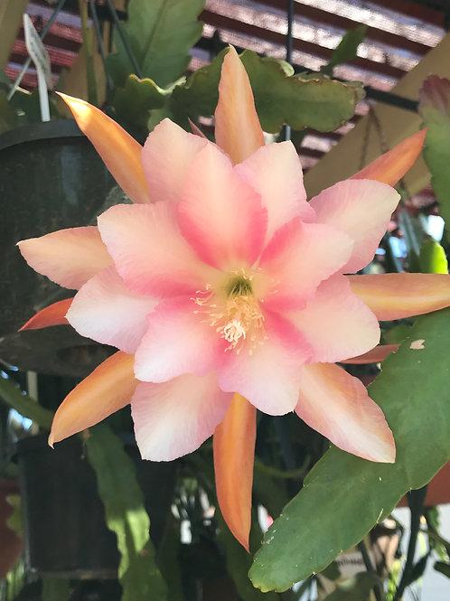 """Epiphyllum """" VANILLA SUNSET """" Variety"""