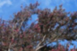 Big Manuka Tree (Pink).JPG