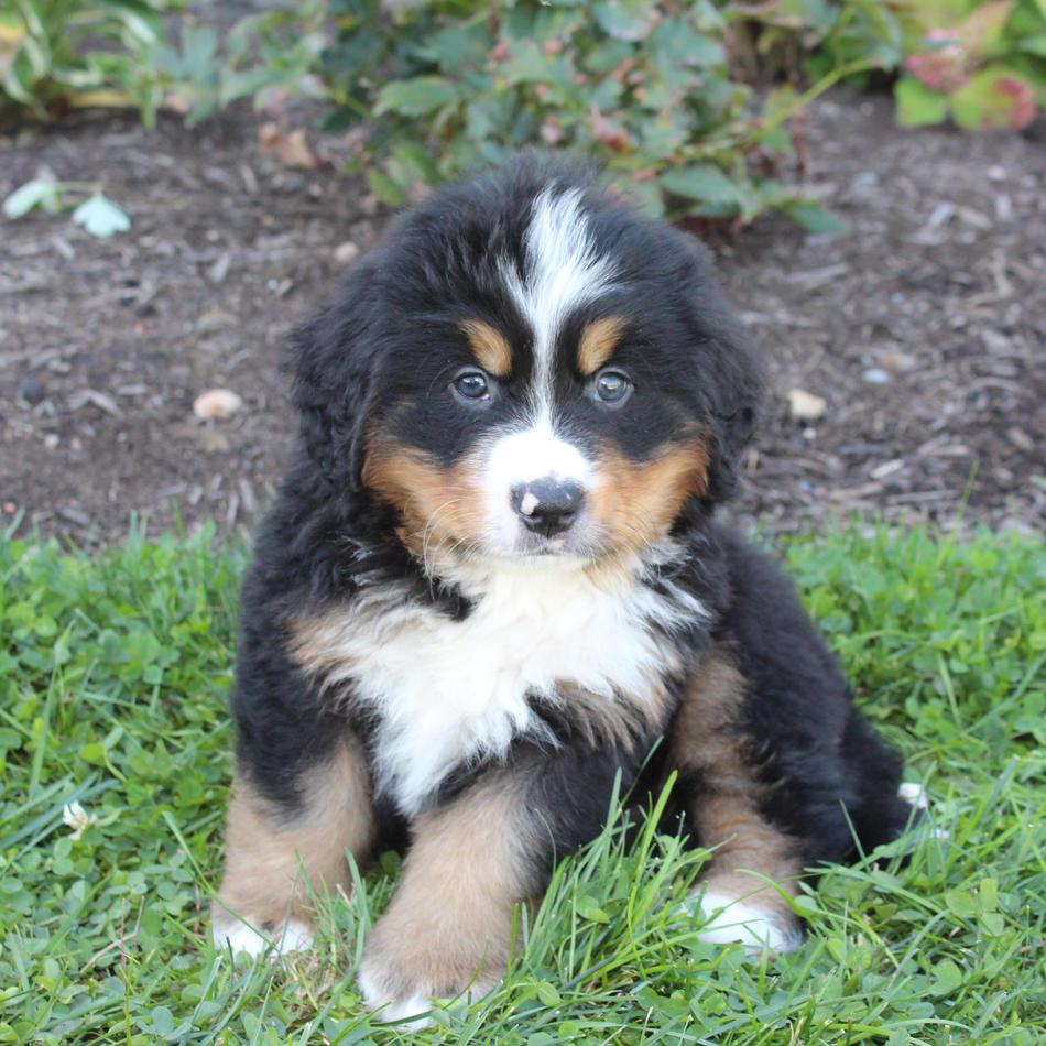 Bernese Montain Dog