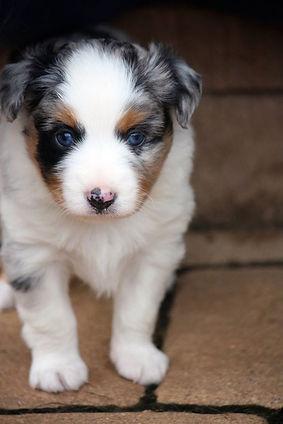 Blue Merle Mini Aussie Puppy