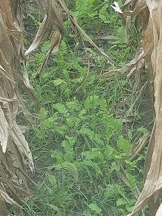 cover crop 3.jpg