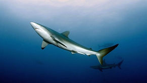 writer-conservation-costa-rica-sharks.jp