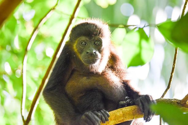 howler-monkey-nature-wildlife-bocas-del-