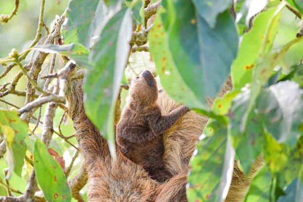 baby-sloth-wildlife-photographer-panama-freelance-writer.jpg