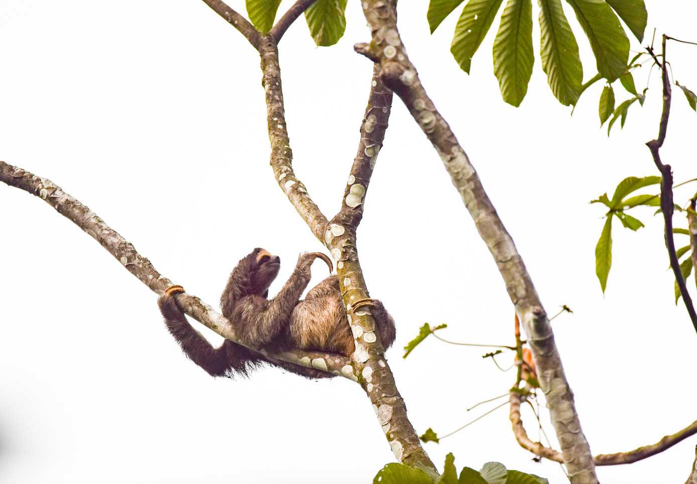 sloth-nature-panama-conservation-wildlif