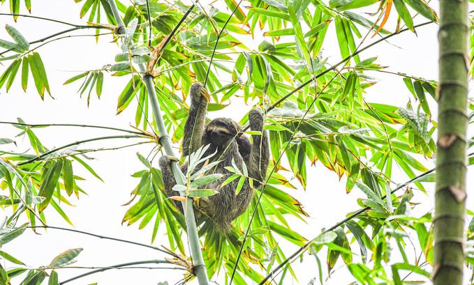 three-toed-sloth-panama-photographer-writer-nature-freelance.jpg