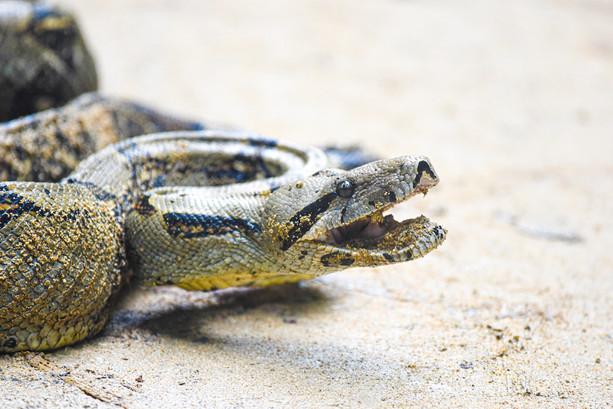 snakes-panama-central-america-travel-bocas-del-toro-writer-photographer.jpg