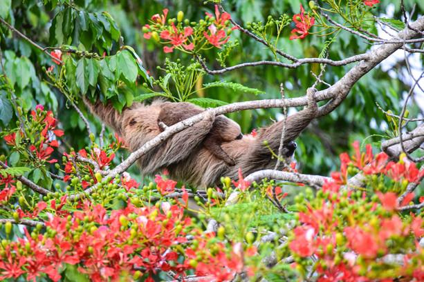 where-to-see-sloths-panama-bocas-del-toro-travel-photographer-writer.jpg