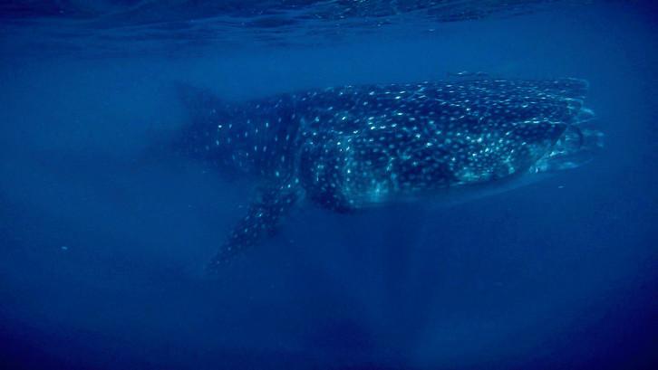 photographer-underwater-whale-shark-free